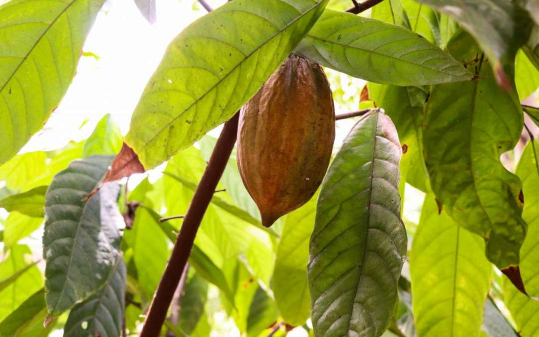 HAMBURG and KESSLER'S Share Its Vision with Cacao Seedling Growers